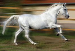 Ló mesterséges termékenyítés, 4574 Conversano Krabbe III-1