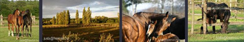 Ilkamajor, lovas élet
